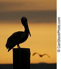 Brown Pelican, Pelecanus occidentalis, sitting on wooden...