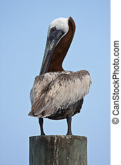 Brown Pelican perched atop a pole.