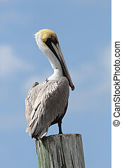 Brown Pelican Perched on a Post