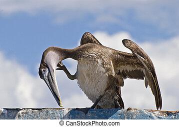 Brown pelican preening on a roof top
