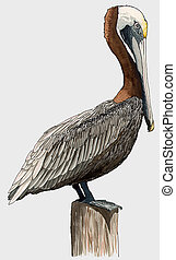 Brown Pelican - Pelecanus occidentalis