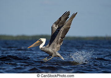 Brown Pelican Takeoff and Splash - An adult Brown Pelican...
