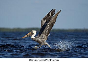 Brown Pelican Takeoff and Splash - An adult Brown Pelican...