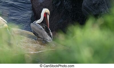 Brown pelican with throat pouch and large beak after fishing, sandstone rock in La Jolla Cove. Sea bird in greenery on cliff over pacific ocean water in natural habitat, San Diego, California USA.