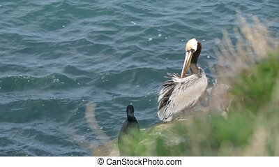 Brown pelican with throat pouch and large beak. Double-crested cormorant after fishing, rock in La Jolla Cove. Sea bird on cliff over pacific ocean water in natural habitat, San Diego, California USA.