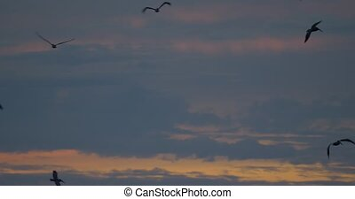 Brown Pelicans Above Ocean At Sunset, Costa Rica (72fps Slow...