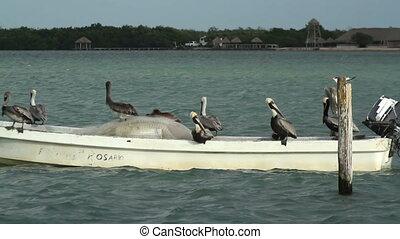 Brown pelicans and other birdlife at ria largartos, mexico