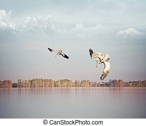 Brown pelicans fishing in a lake at sunset