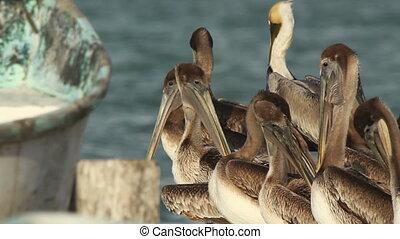 Brown pelicans in ria largartos, mexico