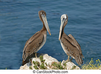 Brown pelicans on a rock