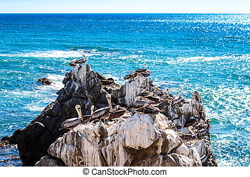 Brown pelicans resting on the rocks in Vina del Mar, Chile