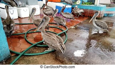 Brown Pelicans Shiver Around a Fish Stall Hoping For ...