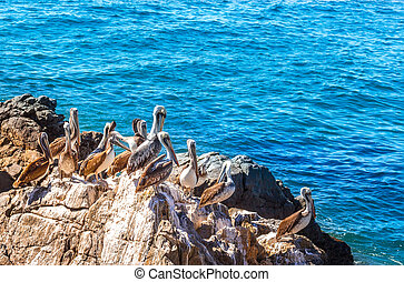 Brown pelicans sitting on the rock with sea background in Vina del Mar, Chile