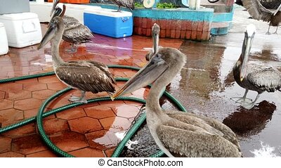 Brown Pelicans Stand Around a Fish Stall Hoping For Castoffs.
