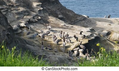 Brown pelicans with throat pouch and double-crested cormorants after fishing, rock in La Jolla Cove. Sea bird with large beak on cliff over pacific ocean in natural habitat, San Diego, California USA.