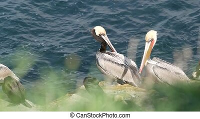 Brown pelicans with throat pouch and double-crested cormorants after fishing, rock in La Jolla Cove. Sea bird with large beak on cliff over pacific ocean in natural habitat, San Diego, California USA