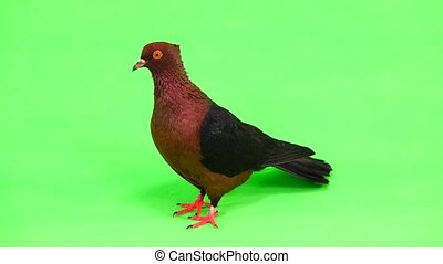 brown pigeon on green screen