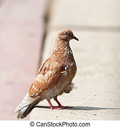 brown pigeon standing on the alley