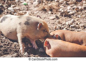Brown piglets at a farm