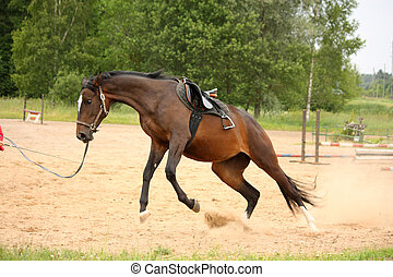 Brown playful latvian breed horse galloping on the line and bucking