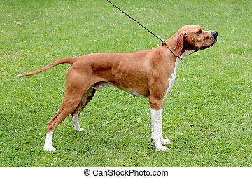 Brown pointer dog on a green grass lawn
