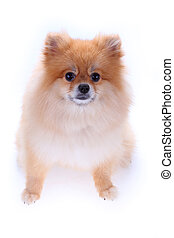 brown pomeranian dog isolated on white background, cute pet in home