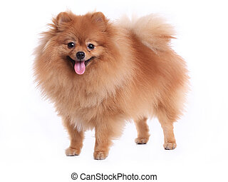 brown pomeranian dog isolated on white background, cute pet...