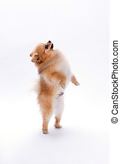 Brown pomeranian dog on white background.