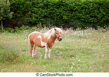Brown Pony grazing in a meadow