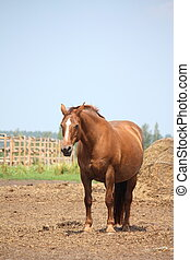 Brown pregnant horse mare standing at the field near the...