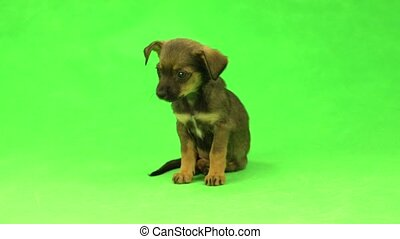 brown puppy  isolated on a green background