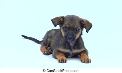 brown puppy  isolated on a white  background