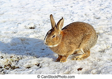brown rabbit at the farm