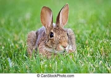 Brown Rabbit - Brown rabbit sitting in green grass