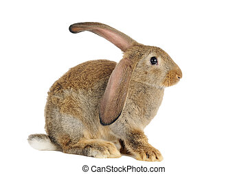brown rabbit bunny isolated - one young brown sitting rabbit...