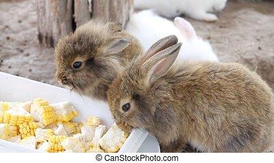 Brown rabbit eating corn.