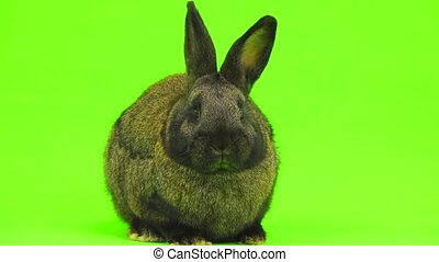 brown rabbit isolated on green screen (three months old)...