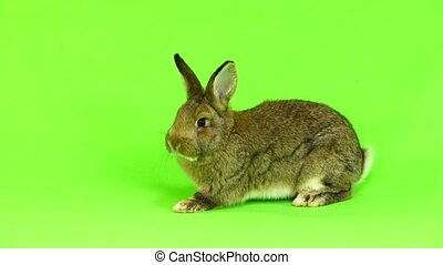 brown rabbit moves isolated on green screen (three months...