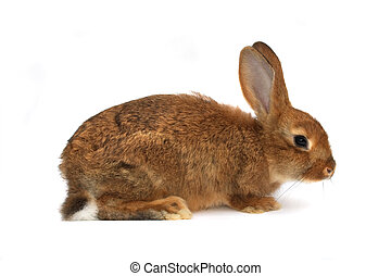 brown rabbit on the white background