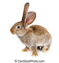 Brown rabbit on white background - Young domestic brown...