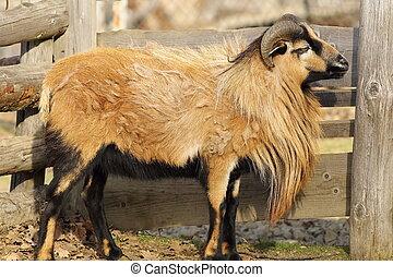 brown ram with long beard