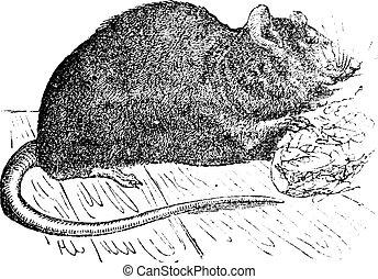 Brown rat (Mus Decumanus) or common rat, vintage engraving.