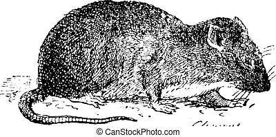 Brown rat or Sewer rat, vintage engraving. - Brown rat or...
