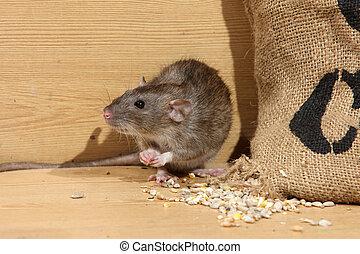 Brown rat, Rattus norvegicus, captive, by corn sack, August...