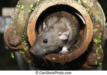 Brown rat, Rattus norvegicus, captive, in drain pipe, August...