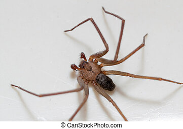 Brown Recluse Spider sitting on a white background.