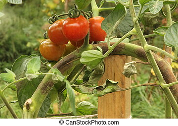 Brown rot on Tomatoes - Brown rot caused by the fungus...