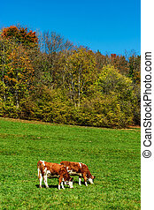 Brown rufous carroty cows on green grass pasturage, sunny ...