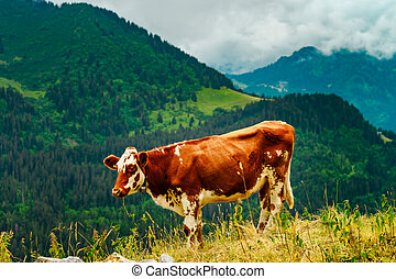 Brown rusty cow on a pasture in Alps mountains