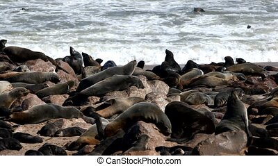 brown seal colony in Cape Cross, Africa, Namibia wildlife